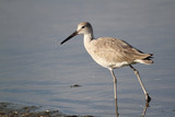 Willet Wading in a Shallow Pond - Florida poster