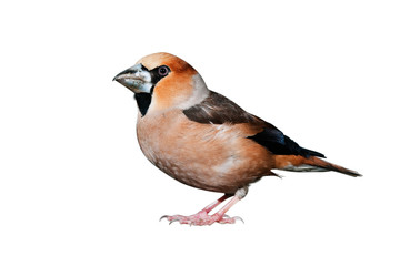 A hawfinch isolated on white background