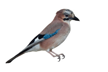Eurasian Jay isolated on white background
