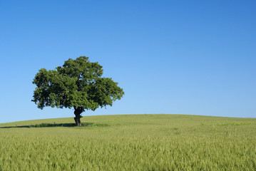 arbre isolé au milieu du champ