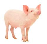 Fototapety Pig on white