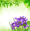 violets on a spring background