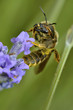 Macro of bee gathering on blue lavender flower