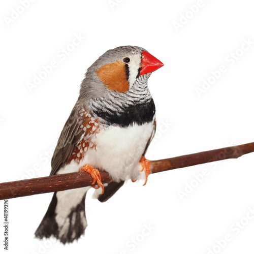 Canvas Zebra Zebra Finch, isolated on white
