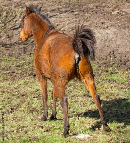 Horse peeing