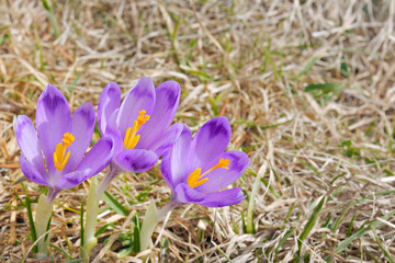 three fresh Crocus sativus flowers in natural environment