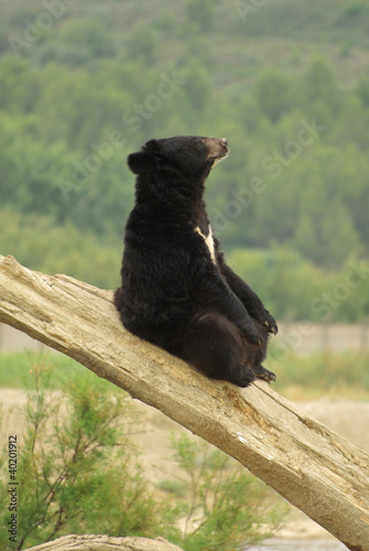 Black bear sitting on a tree trunk