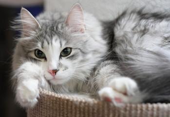 Imponente gatto siberiano