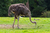 Ostrich in the wildlife park