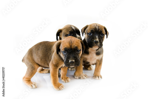 3 puppy Boxer in front of white background
