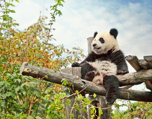 Foto op Canvas Panda Panda bear