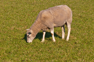 Portrait of a sheep grazing on grass