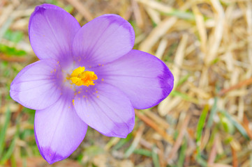 closeup view fresh Crocus sativus flower in spring