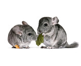 pair of young chinchillas with a dry leaf from a tree. - Fine Art prints