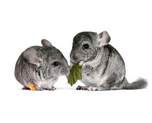 pair of young chinchillas with a dry leaf from a tree.