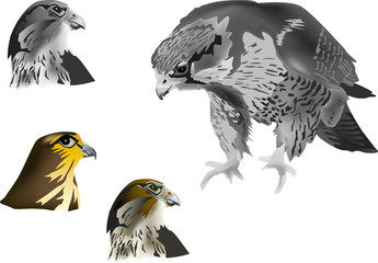 four hawks on white background