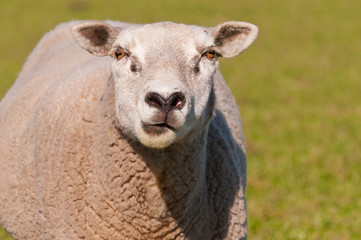 Portrait of a staring sheep in sunlight