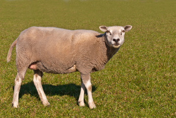 Sheep standing in the meadow
