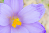fresh natural Crocus sativus flower in spring, macro view