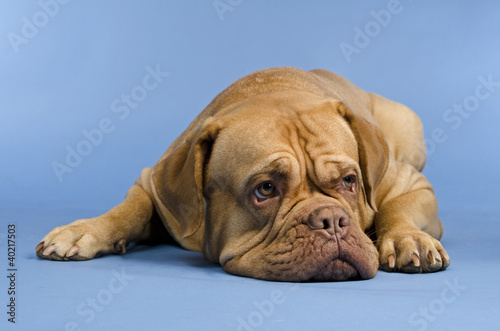 Dogue De Bordeaux lying