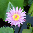 The blooming pink lotus in the natural pond