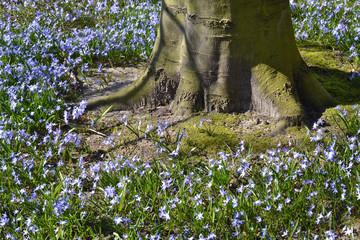 Wild hyacinth or Boshyacint.