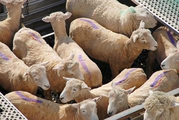 Sheep transportation