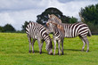 Zebras in the wildlife park
