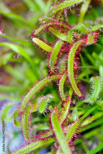 Drosera aliciae known as Sundew
