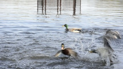 the mallards are squabbling