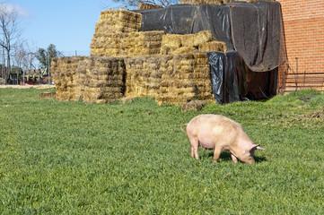 Pig grazing in field