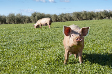 Two pigs grazing in a field