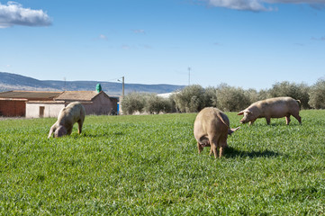 Three pigs grazing in a field