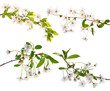 four isolated cherry floral branches