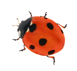 red seven ponts ladybird