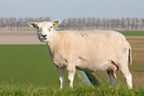Sheep in the Dutch pasture of Flevoland