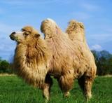 Schönes Kamel