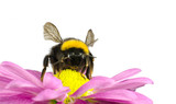 Bumblebee pollinating on Daisy Flower Isolated poster