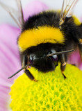 Bumblebee Pollination on Yellow Flower poster