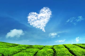 Love Cloud and Tea Plantations