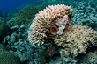 Leinwanddruck Bild Amazing Scorpion fish hiding in a big Coral