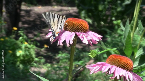Butterfly feeds on echinacea flowers
