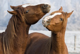 Fototapety horses play