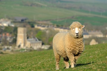 Sheep on a hilltop in Abbotsbury village Dorset England.