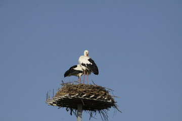 A pair of white storks on nest