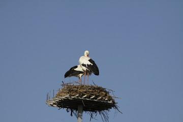A pair of white storks on nest