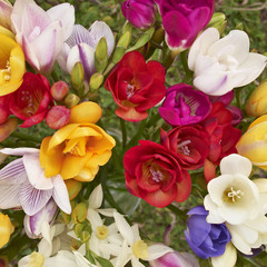 colorful freesia flowers, natural background