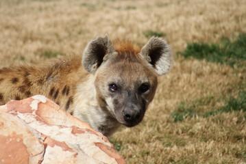Spotted (laughing) Hyena - Crocuta crocuta