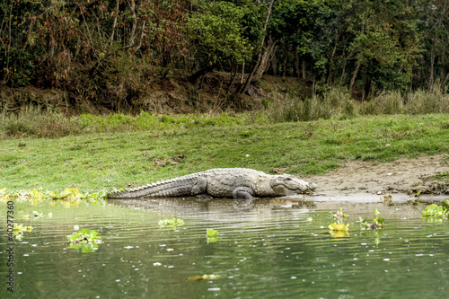 Poster Crocodile in Royal Chitwan National Park, Nepal