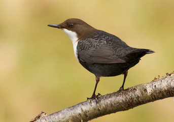 Dipper on a branch